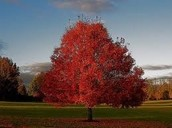 Great things about sugar maple Leaf