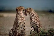 these are 2 cheetahs