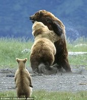 Kodiak Bears Will Defends Anything That They Love