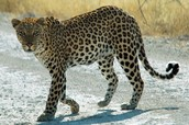 this is a drakenbreg leopard