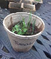 TOMATO W/ GRASS SEED