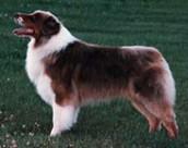 Non-Merle Australian Shepherd