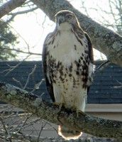 A Hawk visits the Harmony Library!