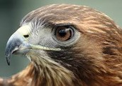 Donna the Red-Tailed Hawk