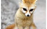 Fennec fox 1