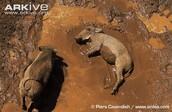 Similar species of a warthog