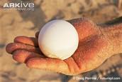 leatherback turtle egg
