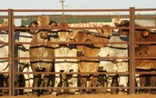 Cattle waiting in loading pens