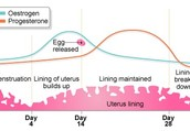 Hormone Levels Through the Menstrual Cycle