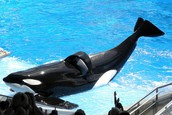Orcas living in captivity have collapsed dorsal fins