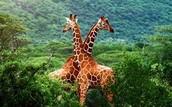 Animal: Giraffe