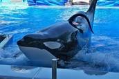 Killer Whale: Tilikum