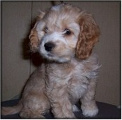 this is a baby cockapoo