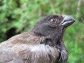 Medium Beak