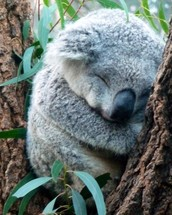 How do koala bears adapt to survive?