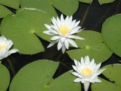 fragrant white lily