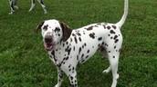 Rare Brown Spotted Dalmatian