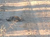 bobcats are cute