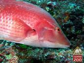 Red Pigfish