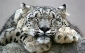 Blind Snow Leopard