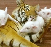 Tiger and piglets