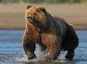 What Are The  Characteristics Of A Kodiak Bear