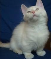 munchkin cat#3