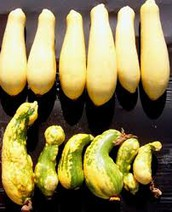 Benefits of Genetically Modified Squash