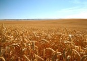 OUR BREAD COLONIES HAVE THE HIGHEST EXPORT OF GRAINS!