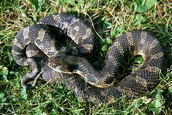 Hog nose snake