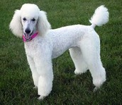 This is a Poodle the 3rd most owned dog