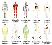 A Human's Different Systems