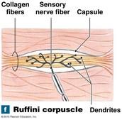 Ruffini corpuscle