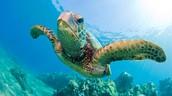 Green seat turtle