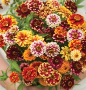Zinnia special garden project evaluation reminder