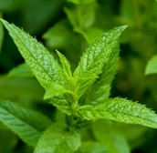 Peppermint - Good for allergies, headaches, and keeping Mosquitos away....