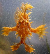 What is a Sargassum Fish?