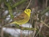 State bird: Yellowhammer