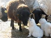 Sheep & Puppies