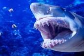 What do Mako sharks eat?