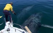 who whale tagging works
