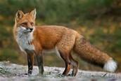 Ferrell the Fox