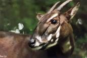 Animal Three: Saola