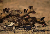 The population of the African Wild Dog
