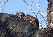 2 Carolina Northern Flying Squirrels
