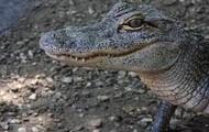 Alligator...ick.  Go NOLES!