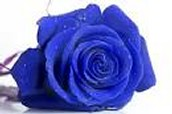 we love blue roses!