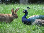 """""""The Peacock and the Rabbit"""""""