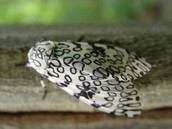 This moth looks like a leopard