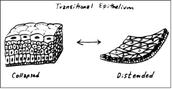 'Transitional Epithelium'